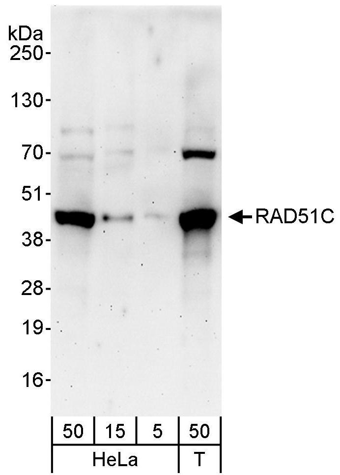 RAD51C Antibody in Western Blot (WB)