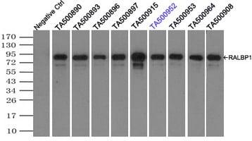 RALBP1 Antibody in Immunoprecipitation (IP)