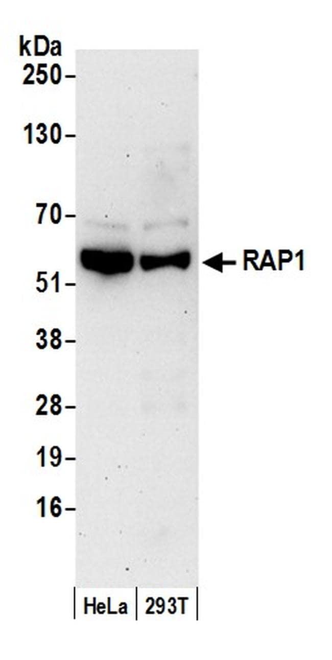 RAP1 Antibody in Western Blot (WB)