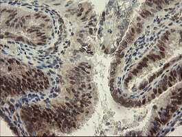 RBPMS Antibody in Immunohistochemistry (Paraffin) (IHC (P))