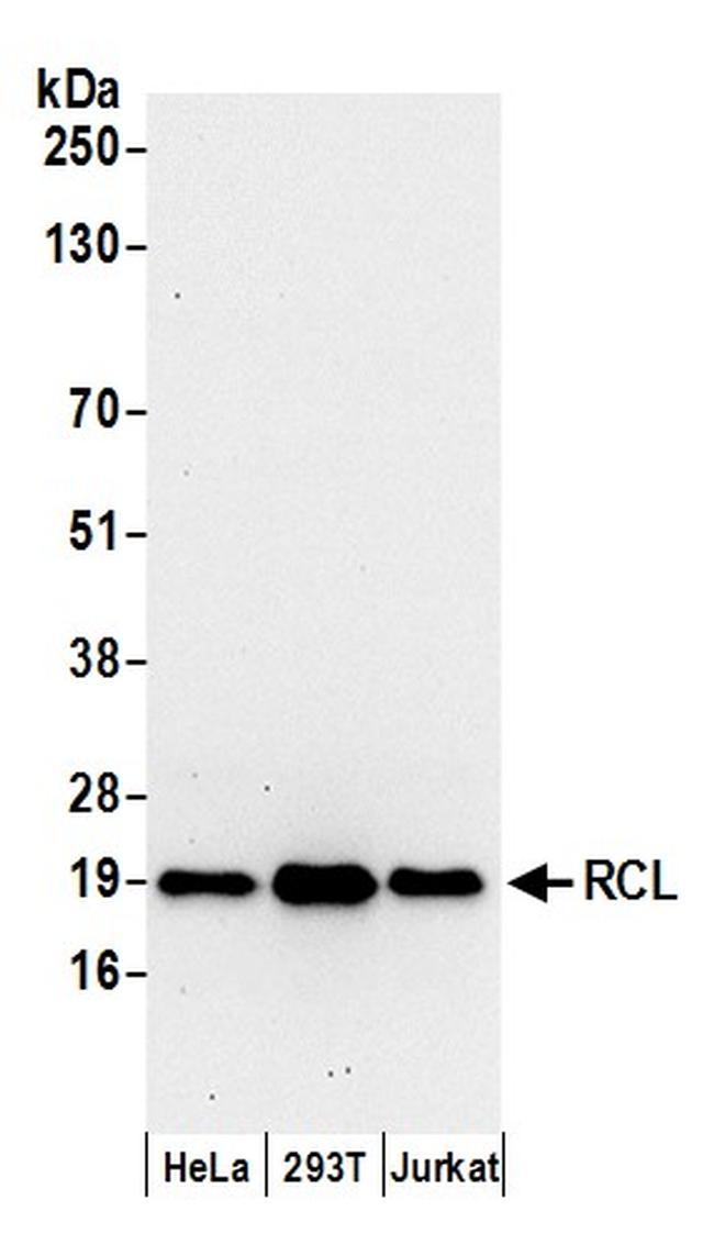RCL Antibody in Western Blot (WB)