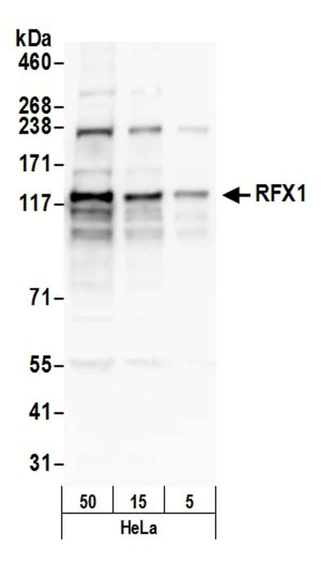 RFX1 Antibody in Western Blot (WB)