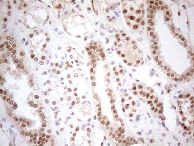 RGL2 Antibody in Immunohistochemistry (Paraffin) (IHC (P))