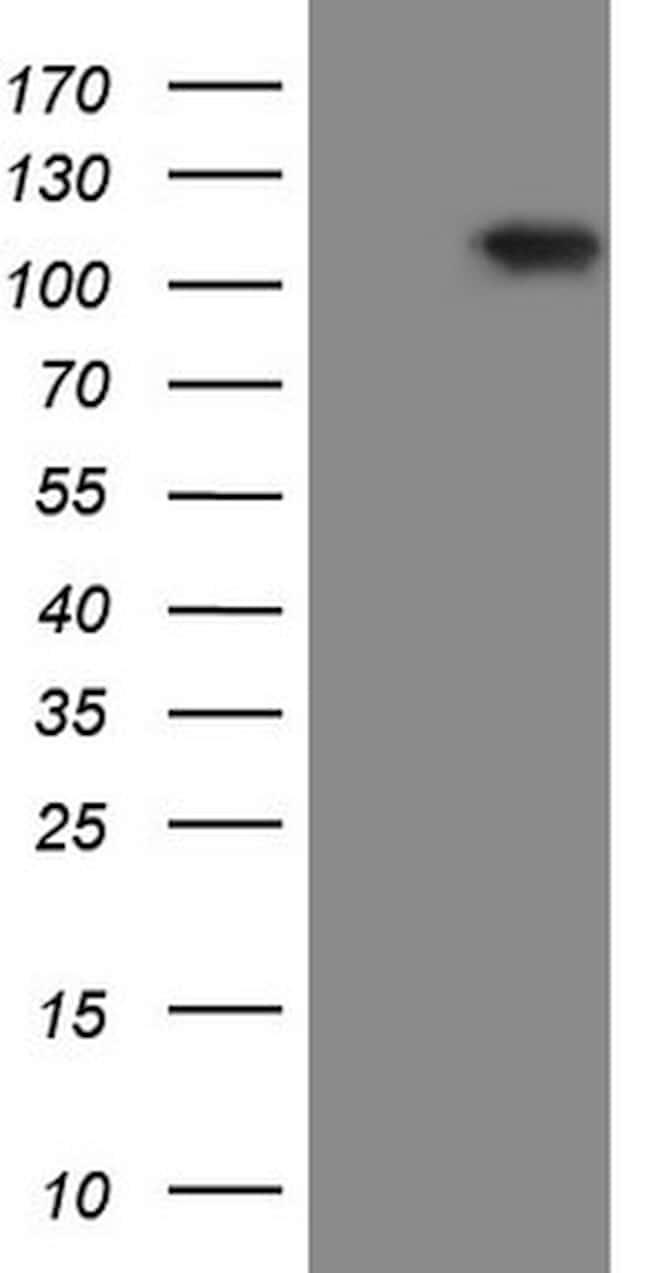 RGL2 Antibody in Western Blot (WB)