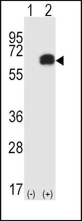 RIP2 Antibody in Western Blot (WB)