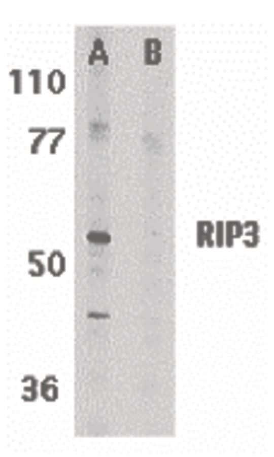 RIP3 Antibody in Western Blot (WB)