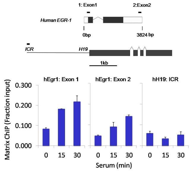 POLR2A Antibody in ChIP assay (ChIP)