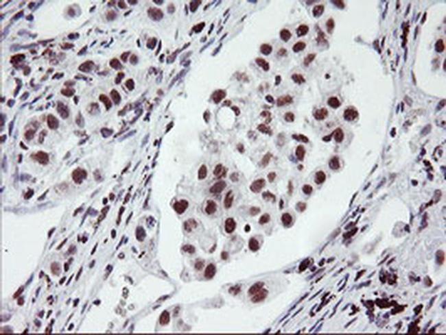 RNF113B Antibody in Immunohistochemistry (Paraffin) (IHC (P))