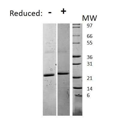 Mouse IL-6, AOF Protein in Gel Shift (GS)