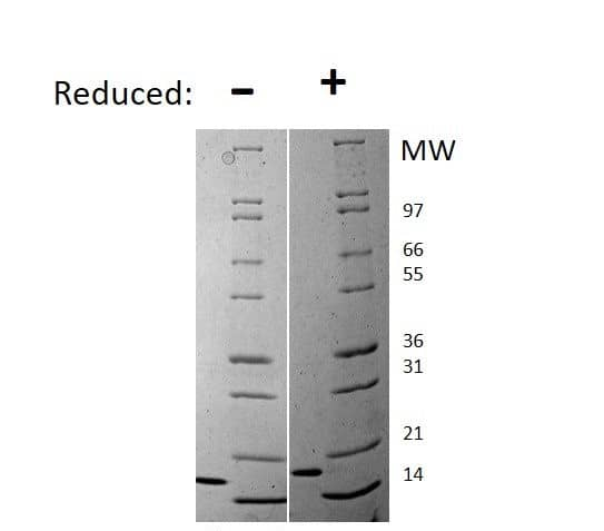 Mouse Flt-3 Ligand (FLT3L), AOF Protein in Gel Shift (GS)