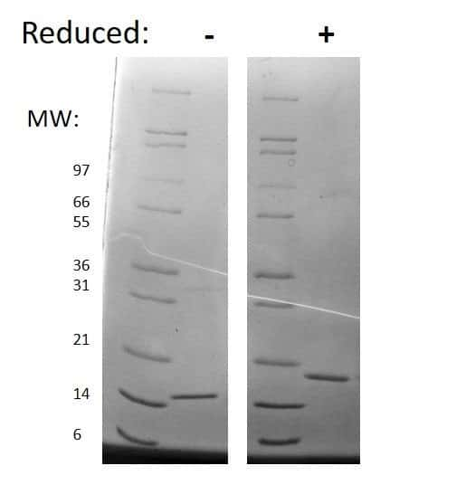 Mouse SCF, AOF Protein in Gel Shift (GS)