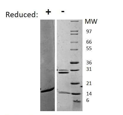 Mouse IL-17A, AOF Protein in Gel Shift (GS)