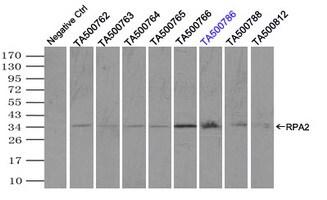 RPA2 Antibody in Immunoprecipitation (IP)
