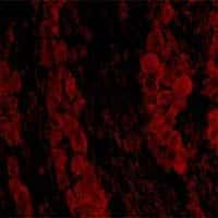 RUNX1 Antibody in Immunofluorescence (IF)