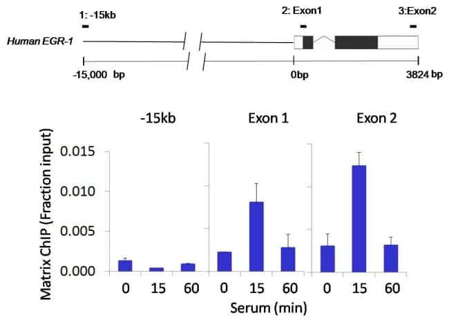 Rex1 Antibody in ChIP assay (ChIP)