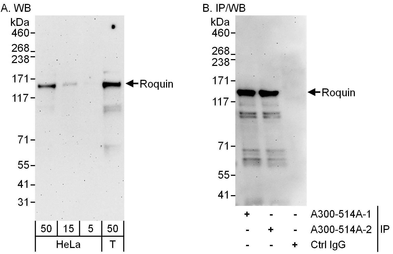 Roquin Antibody in Western Blot (WB)