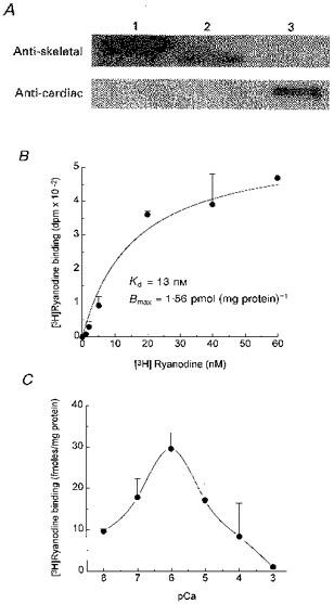 Ryanodine Receptor Antibody