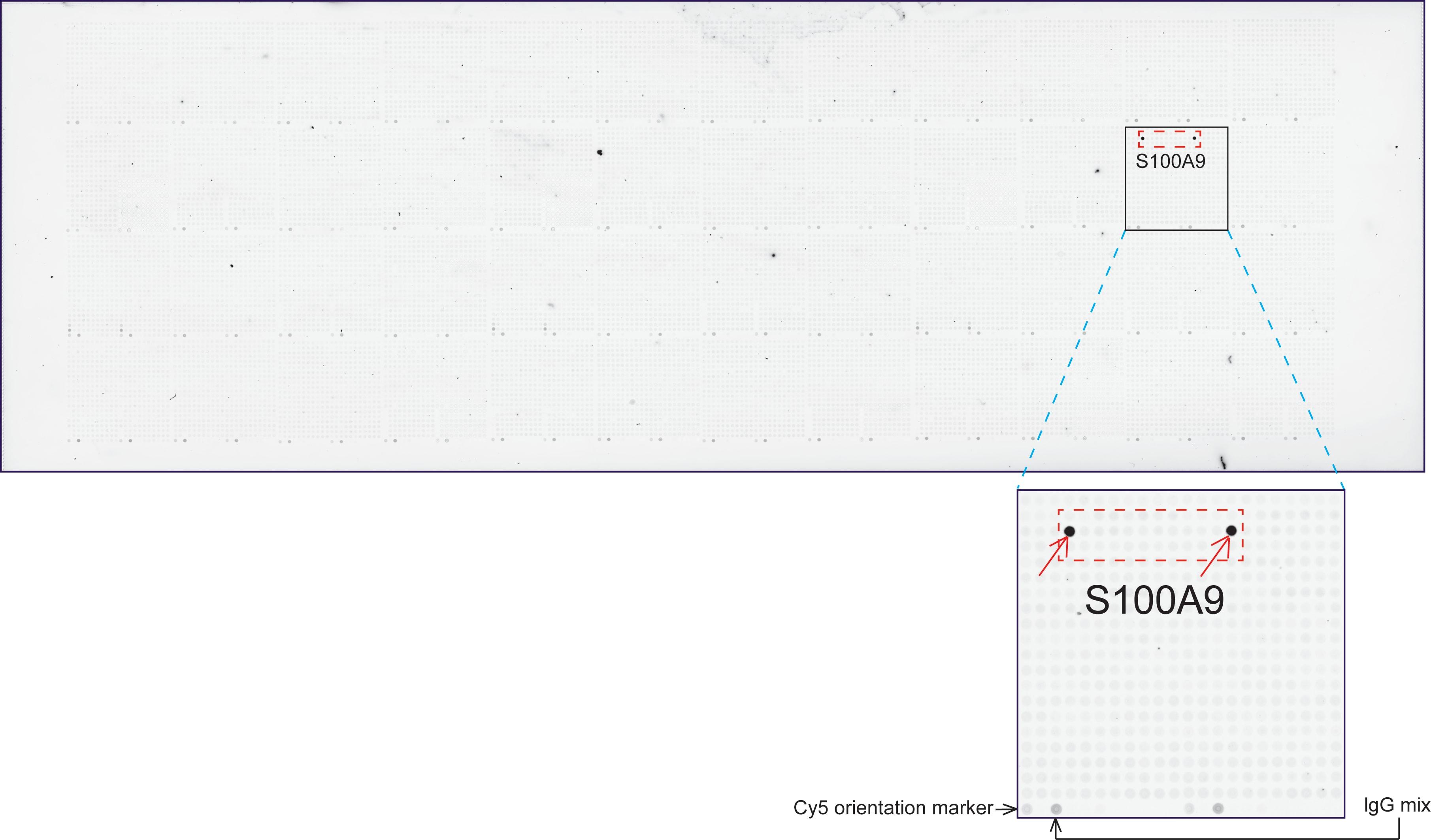 S100A9 Antibody in Peptide array (ARRAY)