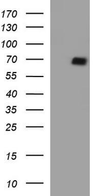 SCARB1 Antibody in Western Blot (WB)