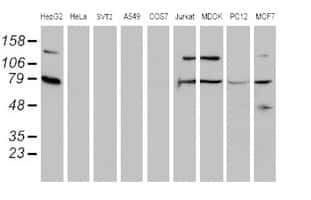 SCFD1 Antibody in Western Blot (WB)