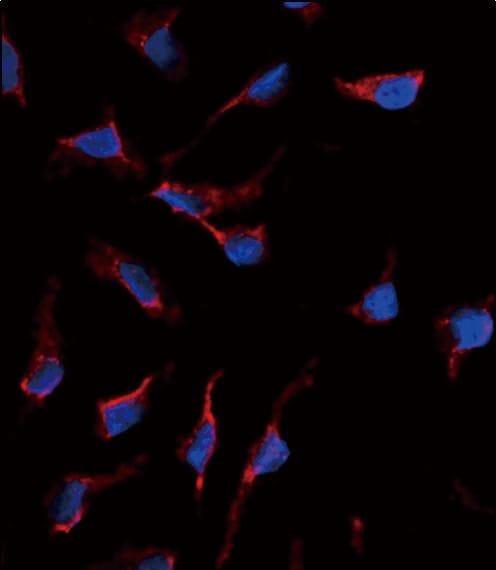 SCF Antibody in Immunofluorescence (IF)