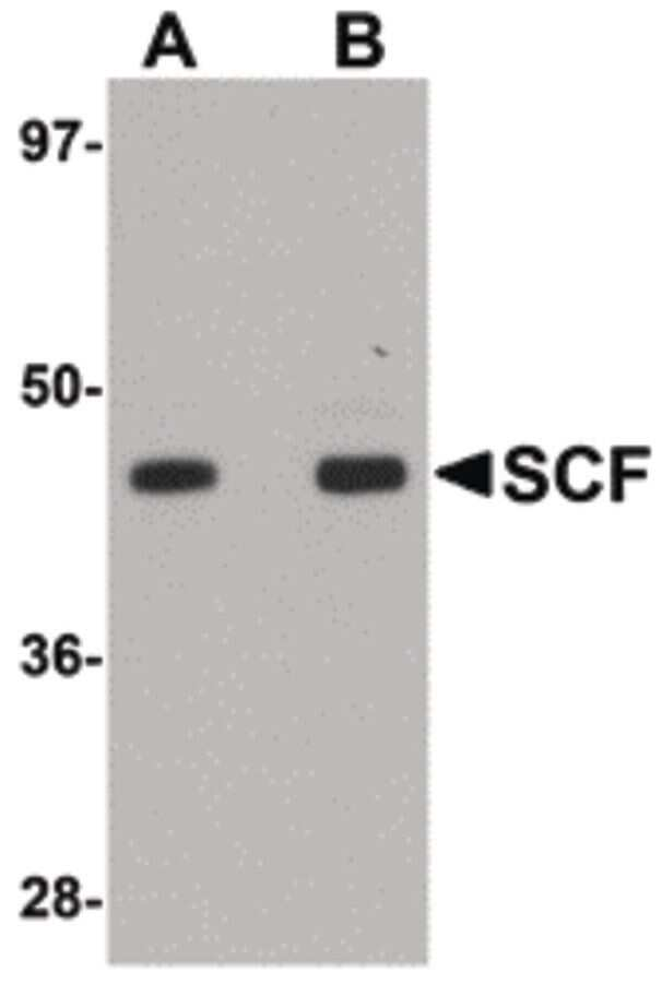 SCF Antibody in Western Blot (WB)