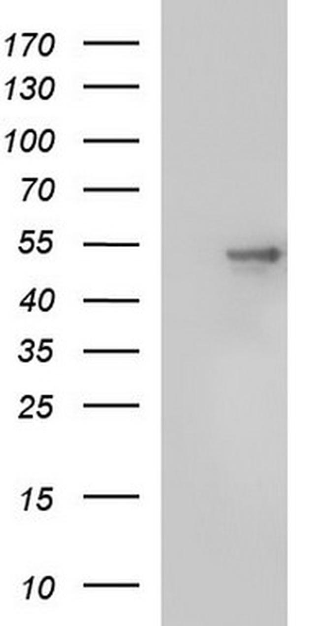 SCRN1 Antibody in Western Blot (WB)