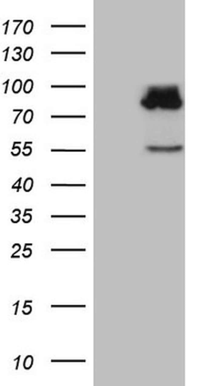 SEC14L1 Antibody in Western Blot (WB)