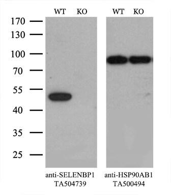 SELENBP1 Antibody in Knockout