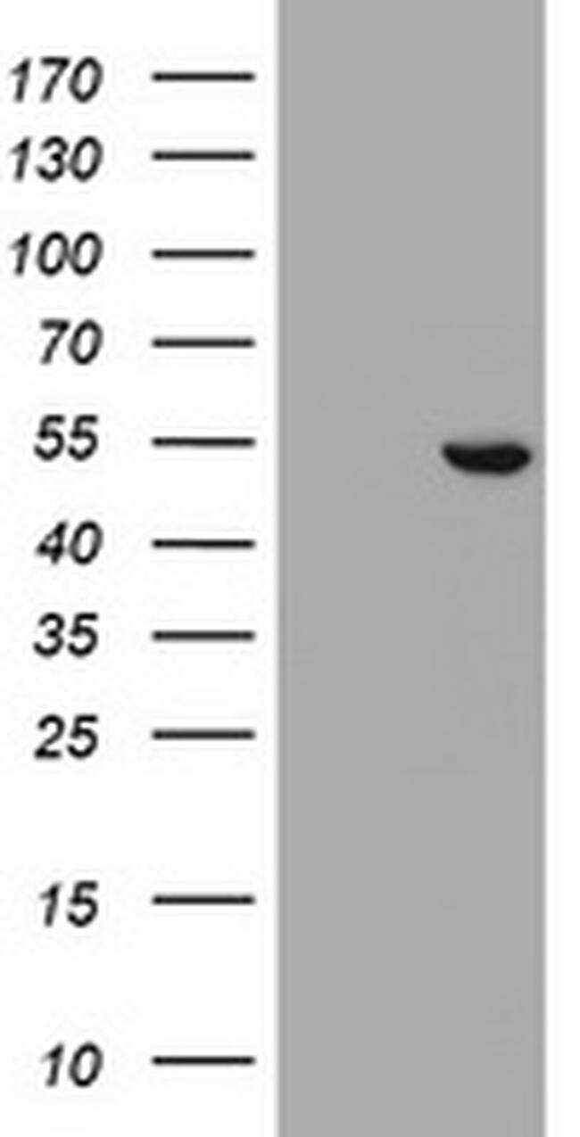 SELENBP1 Antibody in Western Blot (WB)