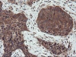 SENP2 Antibody in Immunohistochemistry (Paraffin) (IHC (P))