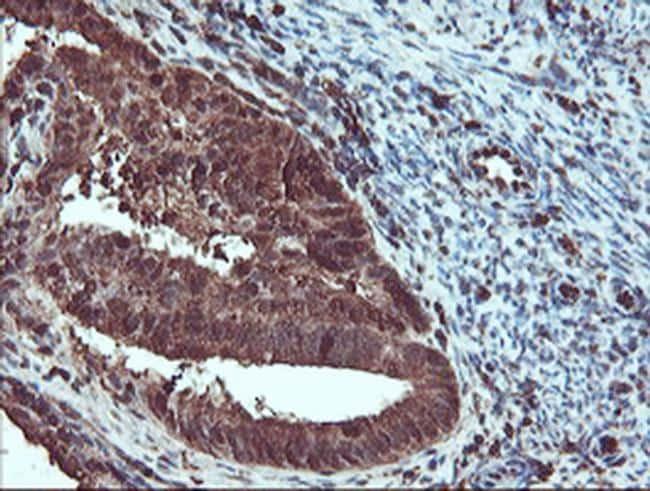 SERPINB1 Antibody in Immunohistochemistry (Paraffin) (IHC (P))