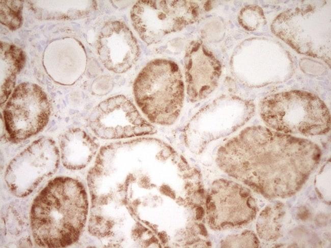SFRP2 Antibody in Immunohistochemistry (Paraffin) (IHC (P))