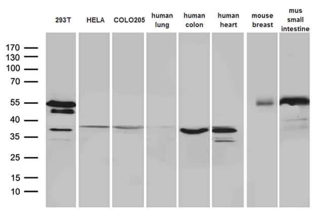 SFRP2 Antibody in Western Blot (WB)