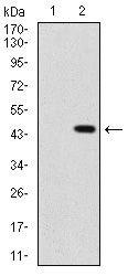 SHH Antibody in Western Blot (WB)