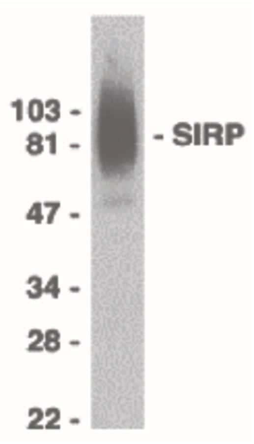 SIRP alpha Antibody in Western Blot (WB)