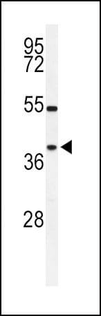 SIRT3 Antibody in Western Blot (WB)