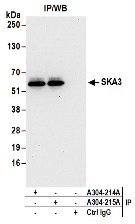 SKA3 Antibody in Western Blot (WB)