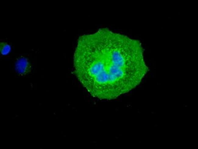 SLC18A2 Antibody in Immunofluorescence (IF)