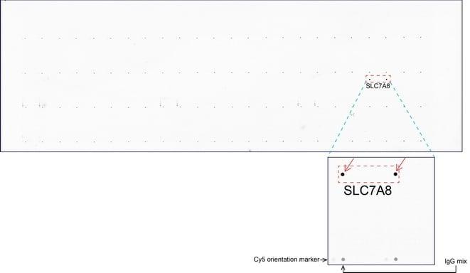 SLC7A8 Antibody in Peptide array (ARRAY)