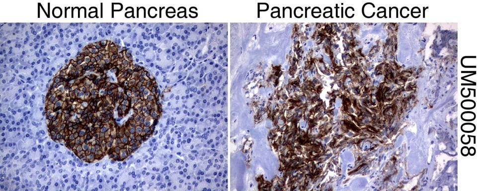 SLC7A8 Antibody in Immunohistochemistry (Paraffin) (IHC (P))