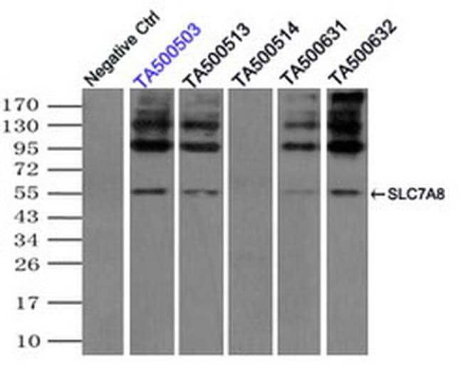 SLC7A8 Antibody in Immunoprecipitation (IP)