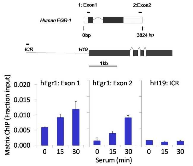 SMAD1 Antibody in ChIP assay (ChIP)