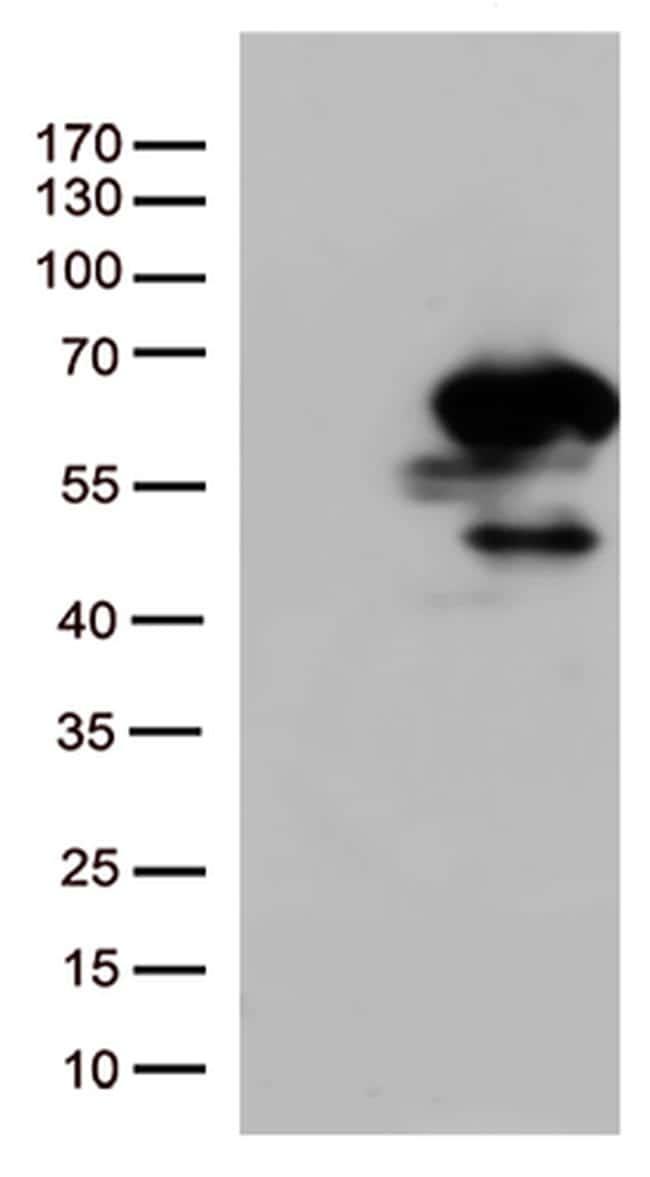 SMAD1 Antibody in Western Blot (WB)