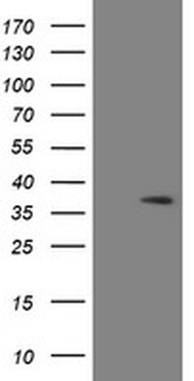 SNAI2 Antibody in Western Blot (WB)