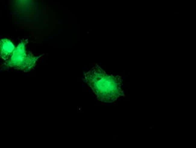 SNAP25 Antibody in Immunofluorescence (IF)