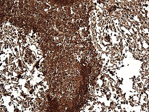 SNCA Antibody in Immunohistochemistry (Paraffin) (IHC (P))