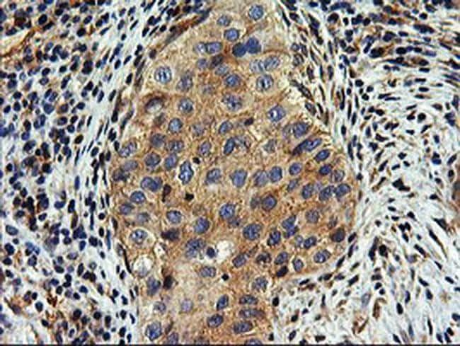 SNX8 Antibody in Immunohistochemistry (Paraffin) (IHC (P))