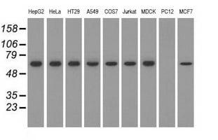 SNX9 Antibody in Western Blot (WB)