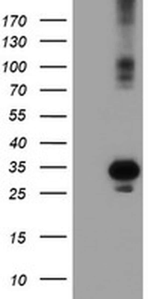 SOCS3 Antibody in Western Blot (WB)